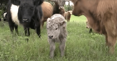 Image of a belted Galloway cow calf