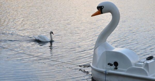 Swan with swan