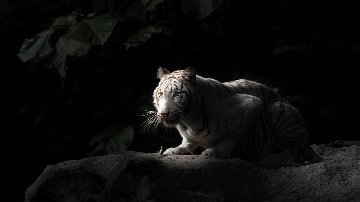 image of white bengal tiger